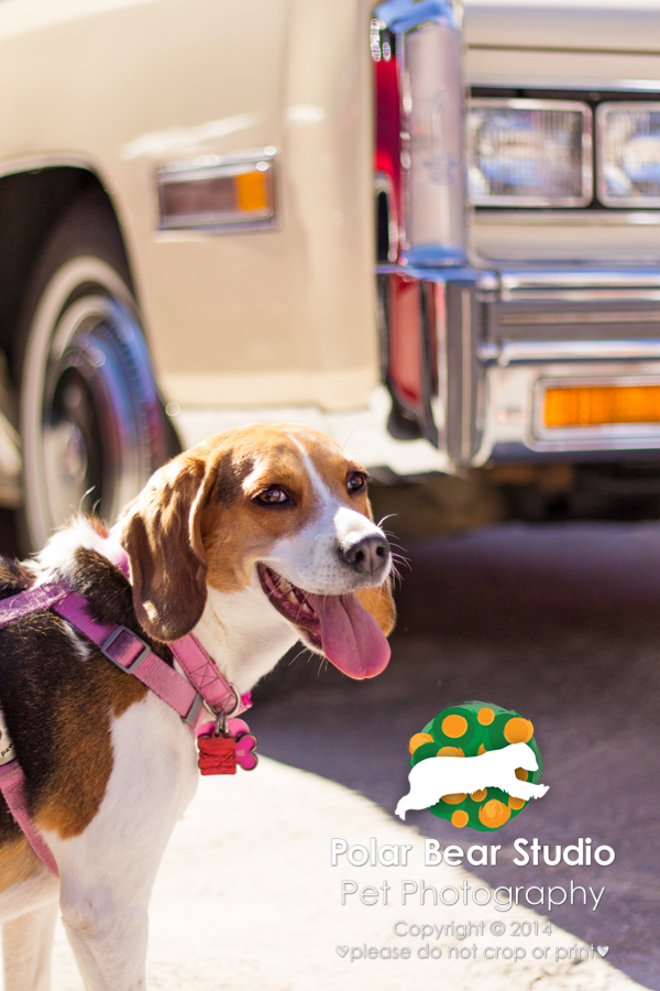 Beagle at a car show, photo by Denise Mueller