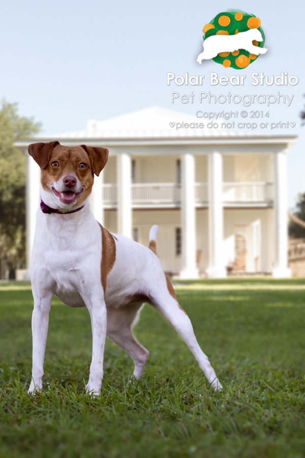 Jack Russell Terrier at Gamble Plantation, Photo by Polar Bear Studio
