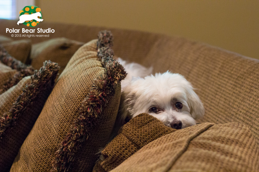 Maltese Lounging on the back of the couch, Photo by Polar Bear Studio