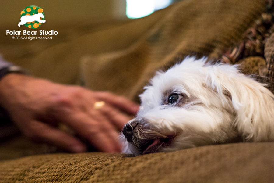 Hiding in the pillow cushions, Maltese with his owner, Photo by Polar Bear Studio