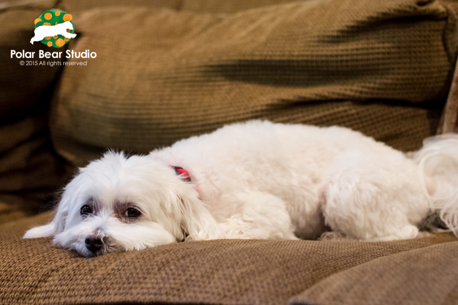 Maltese trying to blend in with the couch, photo by Polar Bear Studio