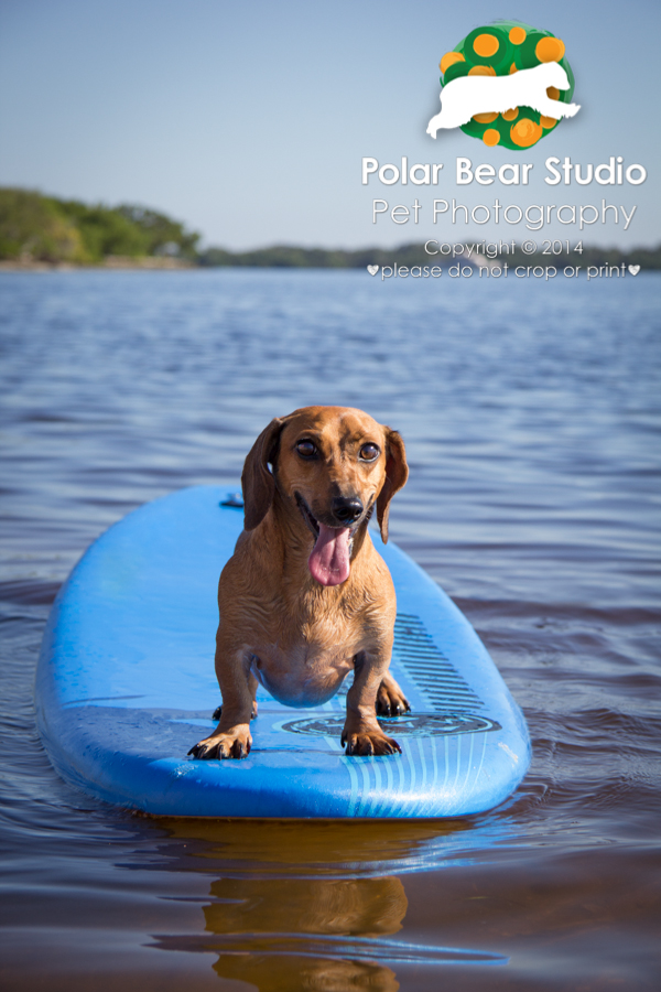 Dachshund Surfing, Photo by Polar Bear Studio