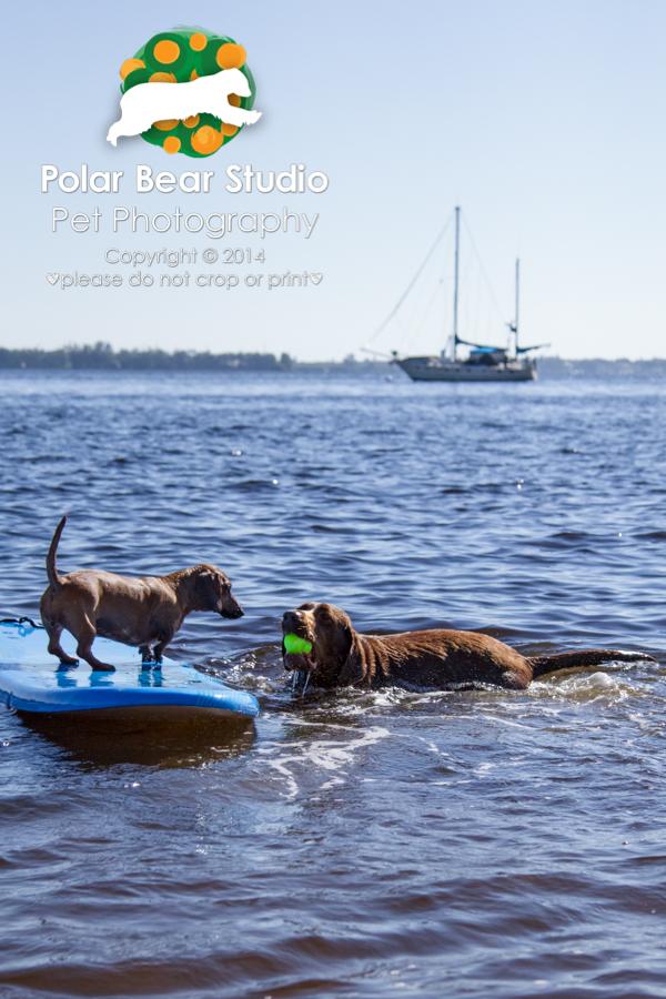 Chocolate labrador fetching for surfing dachshund, Photo by Polar Bear Studio