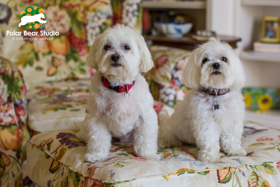 Maltese Best Furry Friends, Photo by Polar Bear Studio
