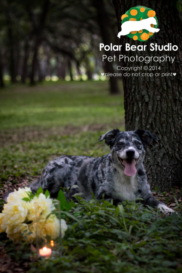 Australian Shepherd & Oak Tree Canopy at Dusk, GT Bray, Photo by Polar Bear Studio Pet Photography