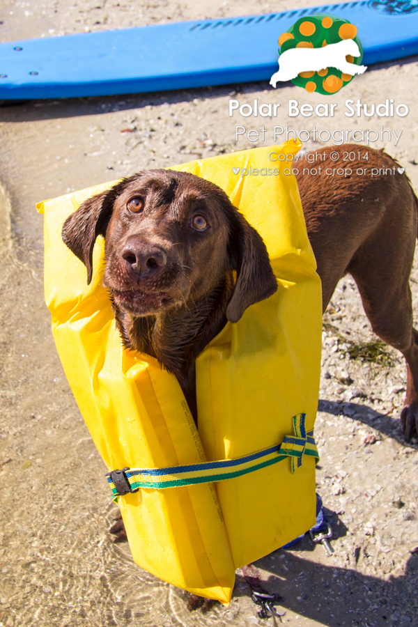 Chocolate labrador offended by wearing a life jacket, Photo by Polar Bear Studio