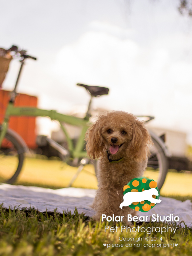 Poodle Picnic at Florida Railroad Museum, Photo by Polar Bear Studio