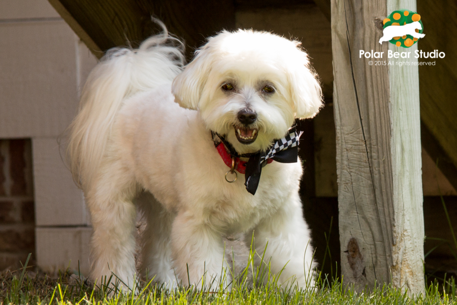 Dapper, bow-tie, smiling Maltese, photo by Polar Bear Studio