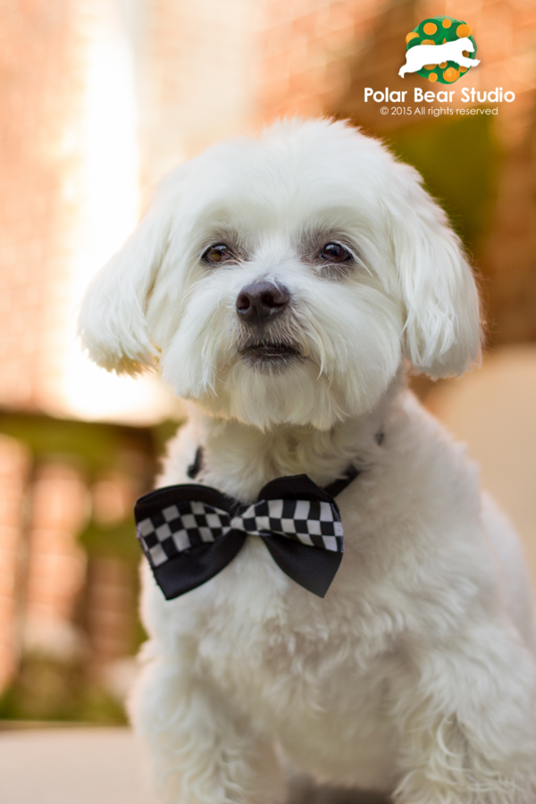Serious Maltese, bokeh background, Photo by Polar Bear Studio