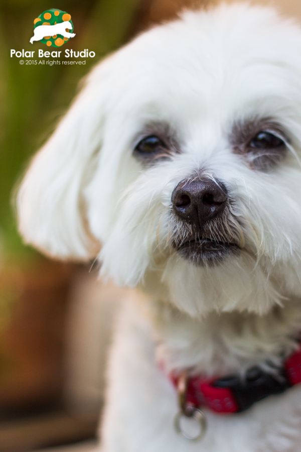 Serious Maltese, nose close-up, bokeh background, Photo by Polar Bear Studio