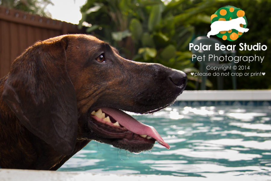 Plott hound in the pool, Photo by Polar Bear Studio