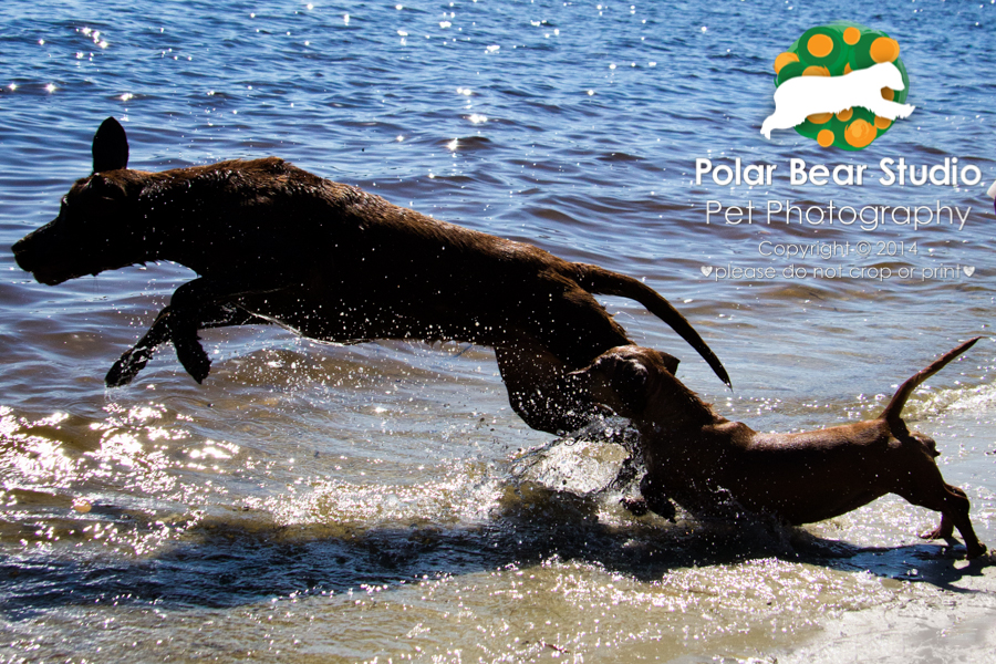 Dachshund and chocolate labrador diving into the water backlit, Photo by Polar Bear Studio