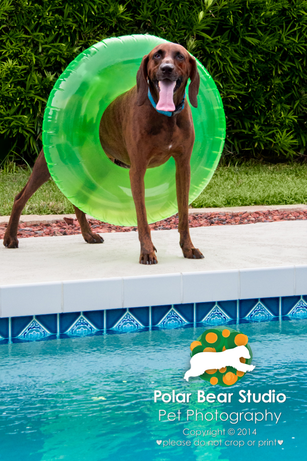 Plott Hound wearing an intertube by the pool, Photo by Polar Bear Studio