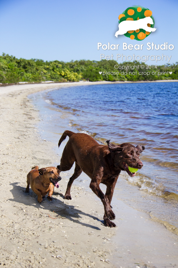 Dachshund and chocolate labrador running together, Photo by Polar Bear Studio