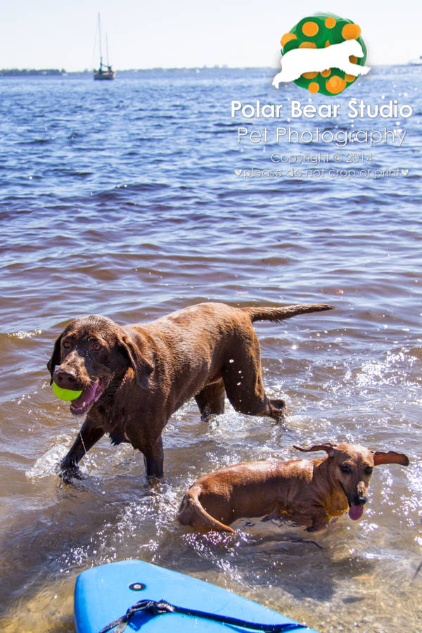 Dachshund and Chocolate Labrador Playing in the Water, Photo by Polar Bear Studio