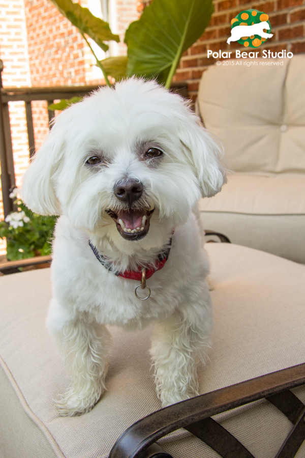 Smiling, happy maltese, photo by Polar Bear Studio