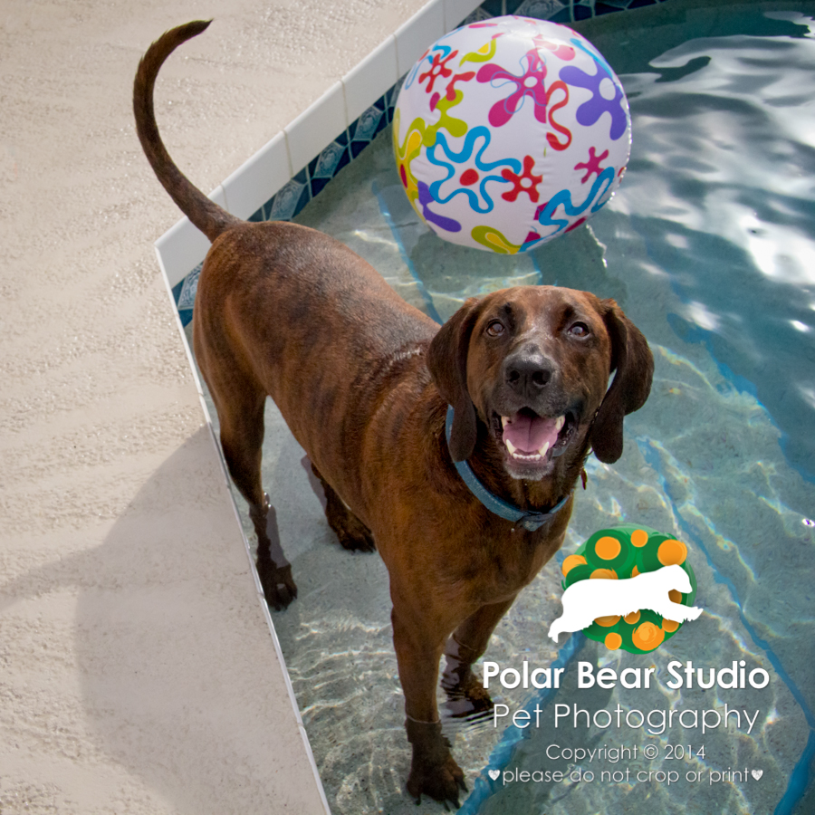 Plott hound wants you to go swimming with him, Photo by Polar Bear Studio