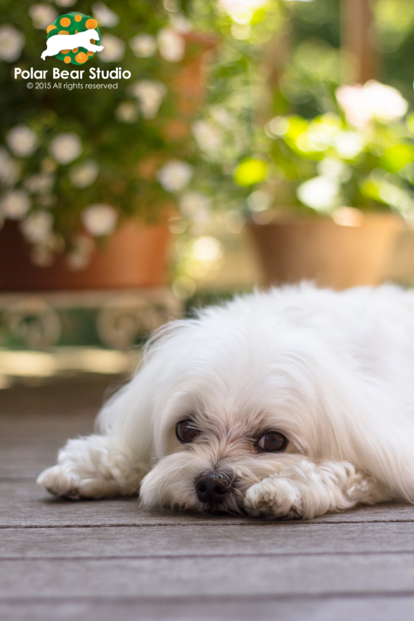 Puppy dog eyes, maltese, bokeh flowers, Photo by Polar Bear Studio