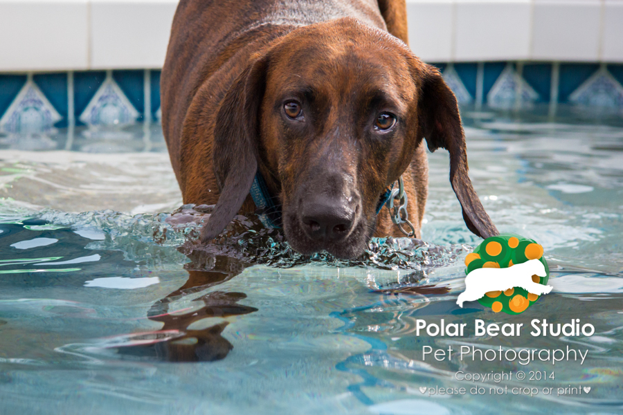 Plott hound a little clumsy getting in the pool, Photo by Polar Bear Studio