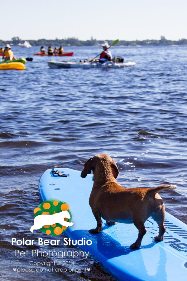 Surfing Dachshund Observing Kayakers, Photo by Polar Bear Studio