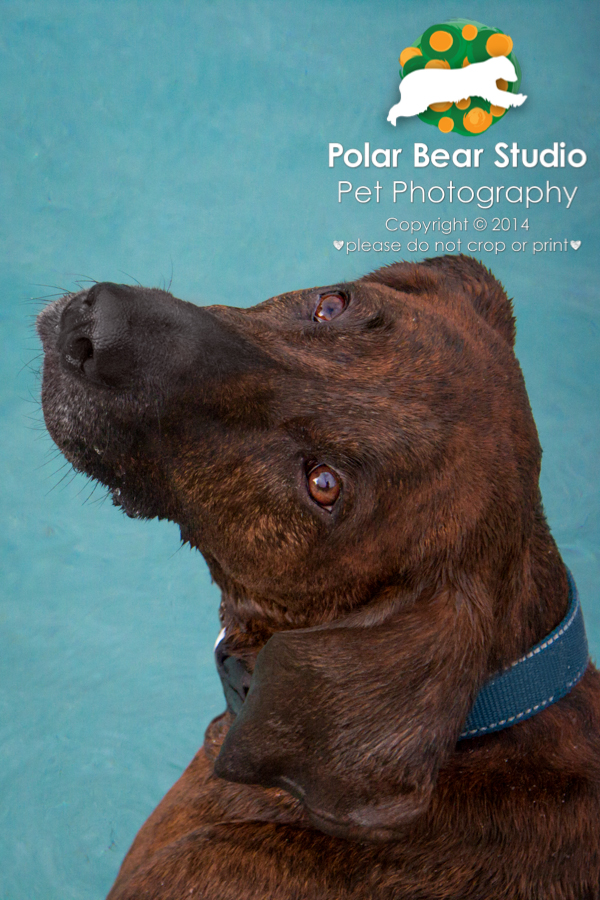 Plott hound puppy-dog eyes, Photo by Polar Bear Studio